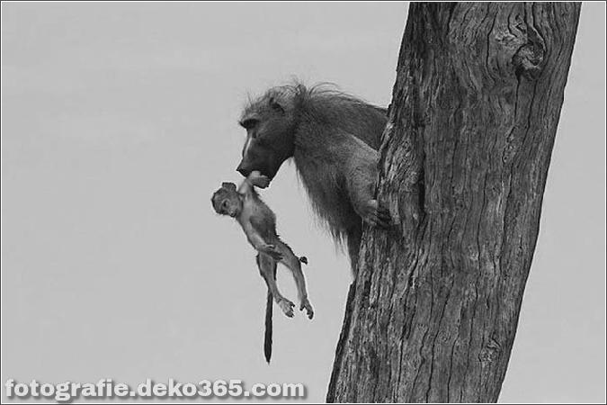 Löwe und Pavian Interaktion (1)