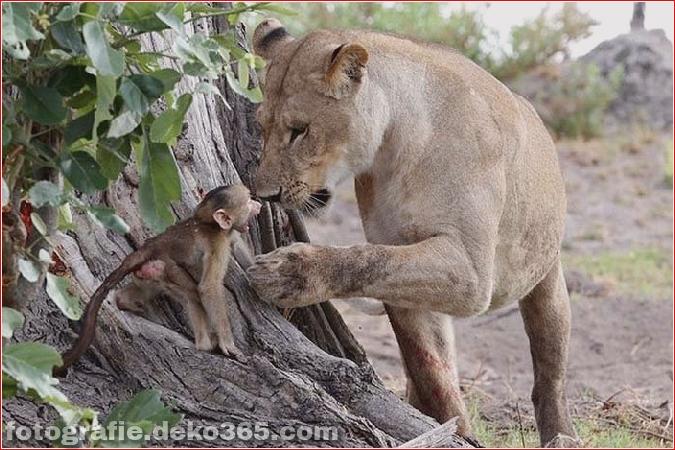 Löwe und Pavian Interaktion (7)
