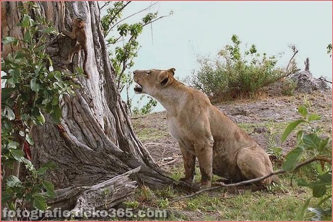 Löwe und Pavian Interaktion (9)