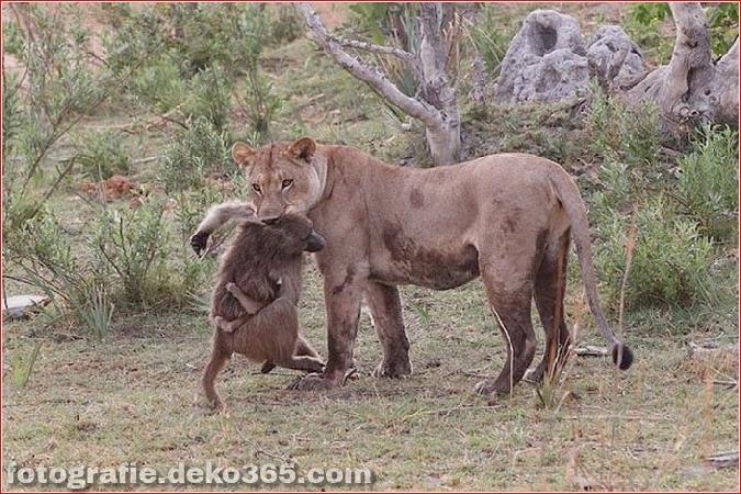 Löwe und Pavian Interaktion (10)