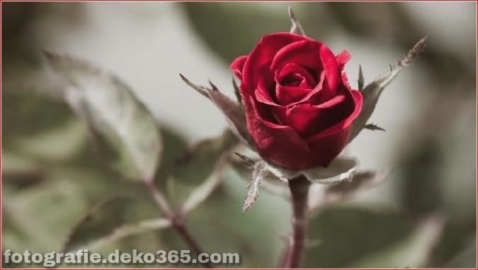 104371056_1375958854_redbackgrounddesktopflowersfnetnaturerose595556