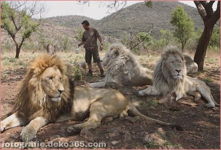 Kevin Richardson, der Löwenflüsterer (24)