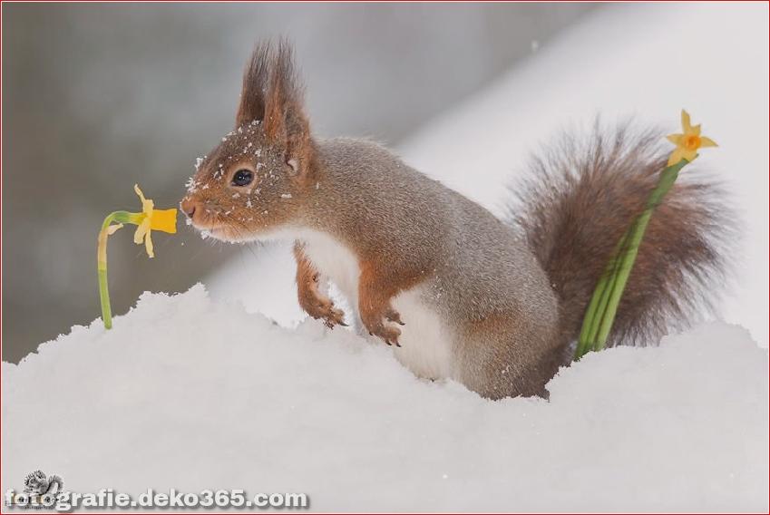 Eichhörnchen mit Weihnachten_5c8ffd1306970.jpg