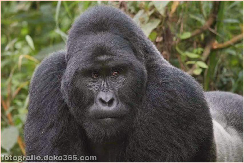 Berg-Gorilla-Fotografie (1)