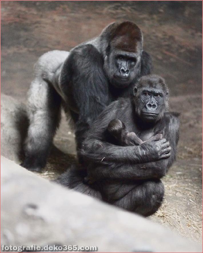 Berg-Gorilla-Fotografie (5)