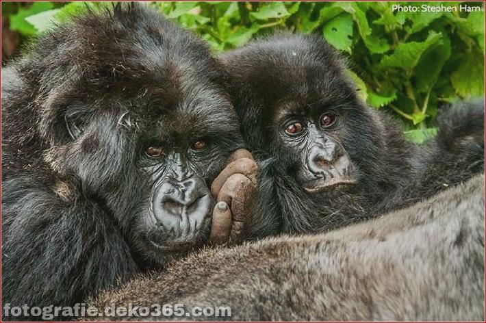Berg-Gorilla-Fotografie (7)