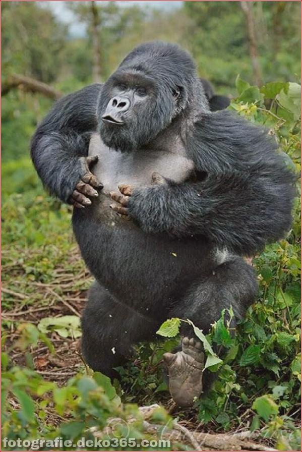 Berg-Gorilla-Fotografie (9)