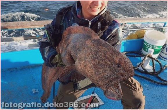 Alien Fish oder Fukushima-Katastrophe - Wolfsfisch (3)