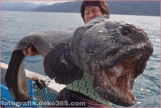 Alien Fish oder Fukushima-Katastrophe - Wolfsfisch (6)