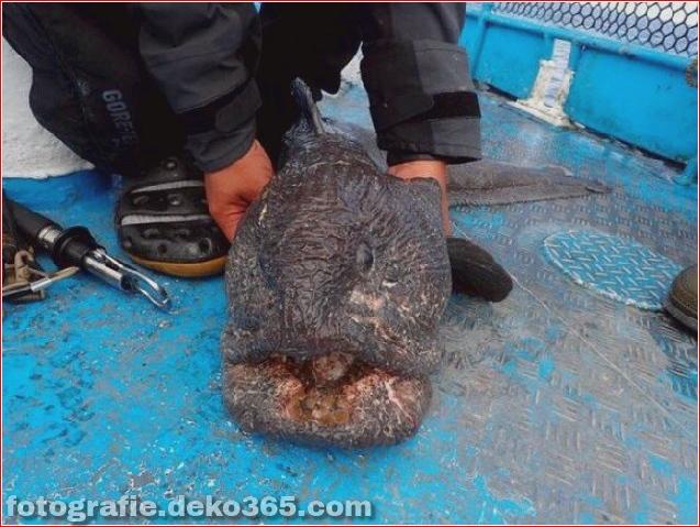 Alien Fish oder Fukushima-Katastrophe - Wolfsfisch (7)