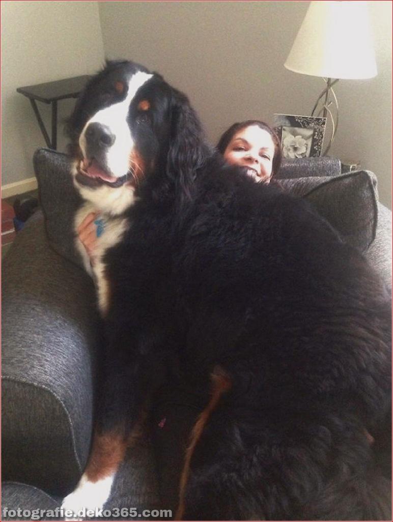 Große Hunde mit Liebesleuten (11)