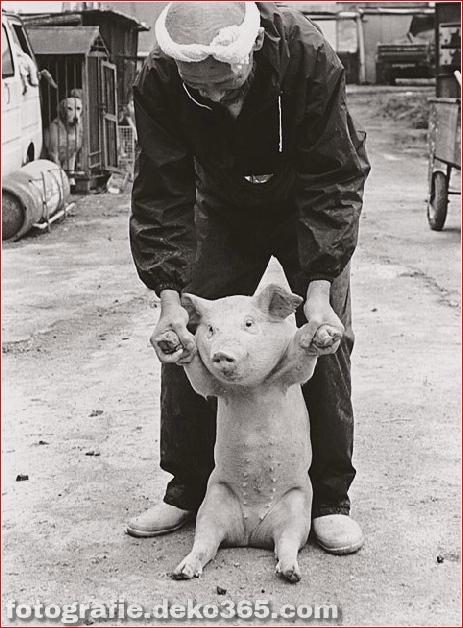 Landwirt und seine Schweine Freundschaft (6)