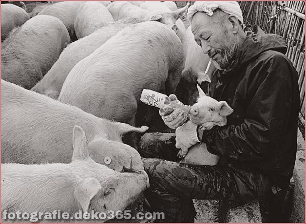 Landwirt und seine Schweine Freundschaft (9)