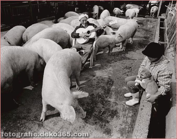 Landwirt und seine Schweine Freundschaft (10)