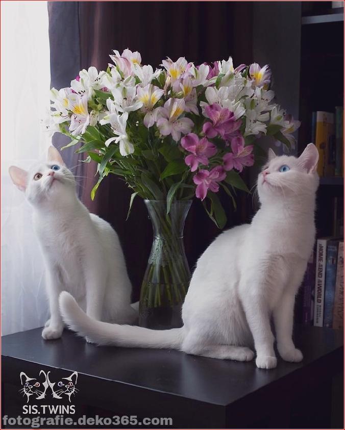 Heterochromatische Augen Katze (2)