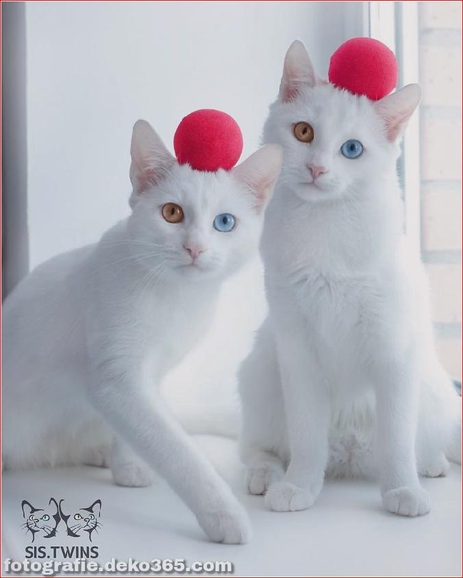 Heterochromatische Augen Katze (3)