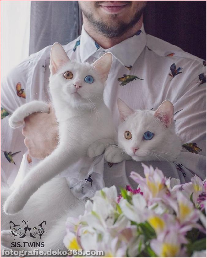 Heterochromatische Augen Katze (4)