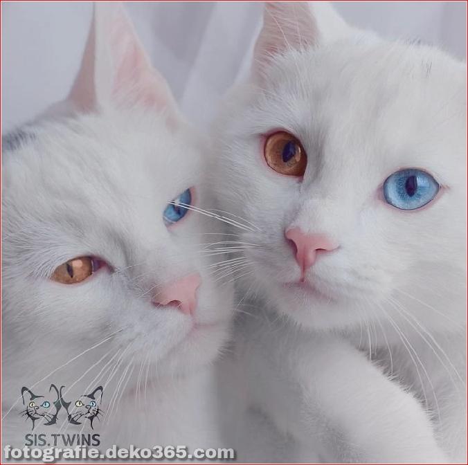 Heterochromatische Augen Katze (10)