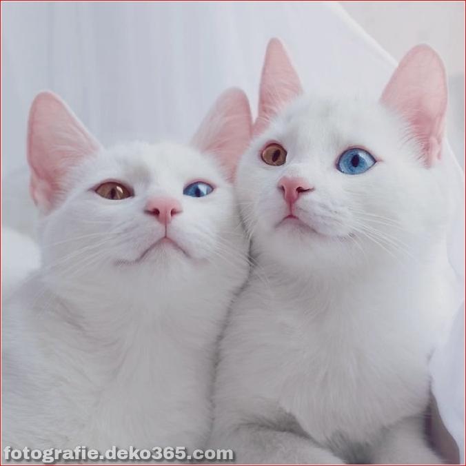 Heterochromatische Augen Katze (11)