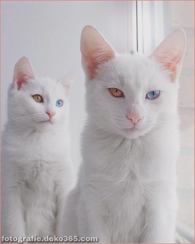 Heterochromatische Augen Katze (12)