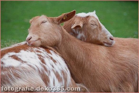 schöne tiere, die andere tiere als kissen verwenden (6)