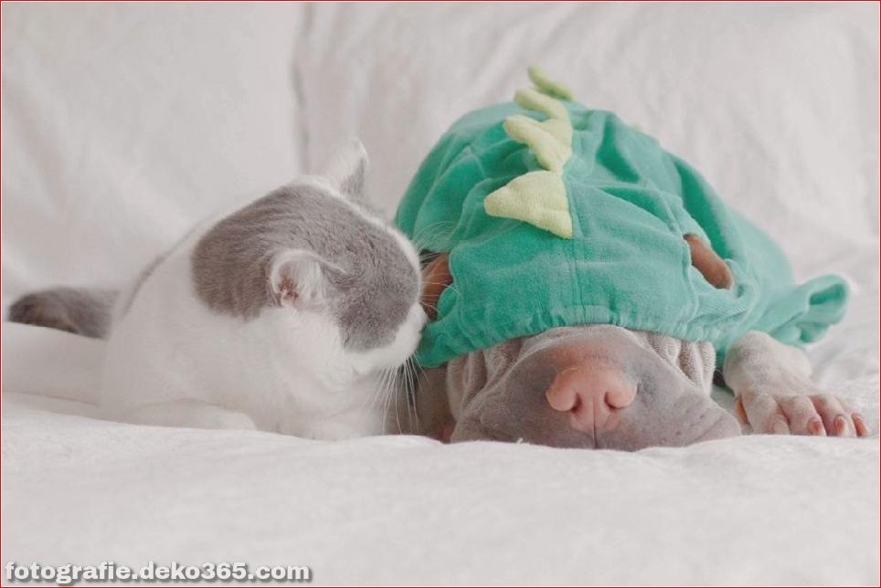 Paddington, der Shar Pei-Hund ist so liebenswert, dass er Schaden anrichtet (5)