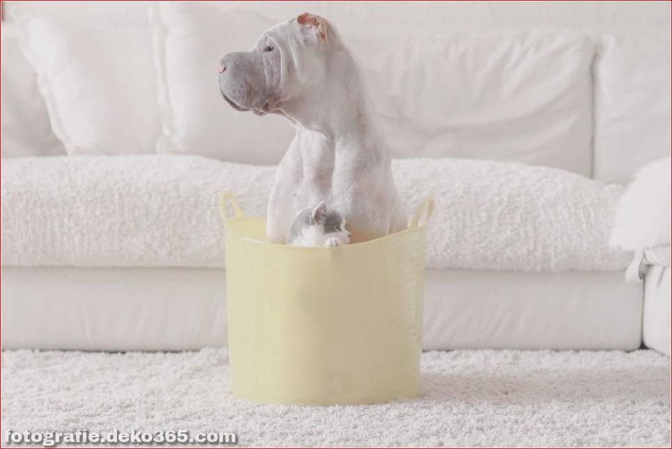 Paddington, der Shar Pei-Hund ist so liebenswert, dass er Schaden anrichtet (6)