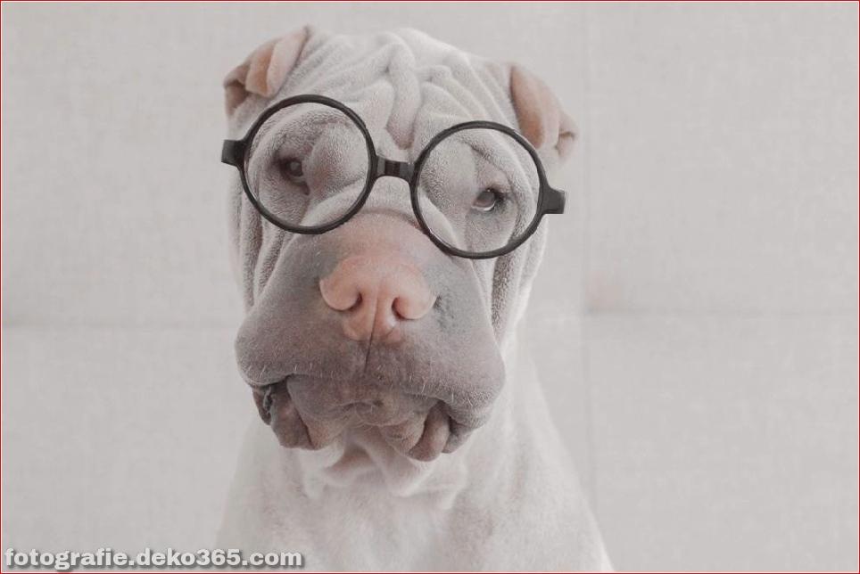 Paddington, der Shar Pei-Hund ist so liebenswert, dass er Schaden anrichtet (9)