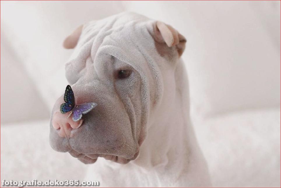 Paddington, der Shar Pei-Hund ist so liebenswert, dass er Schaden anrichtet (11)