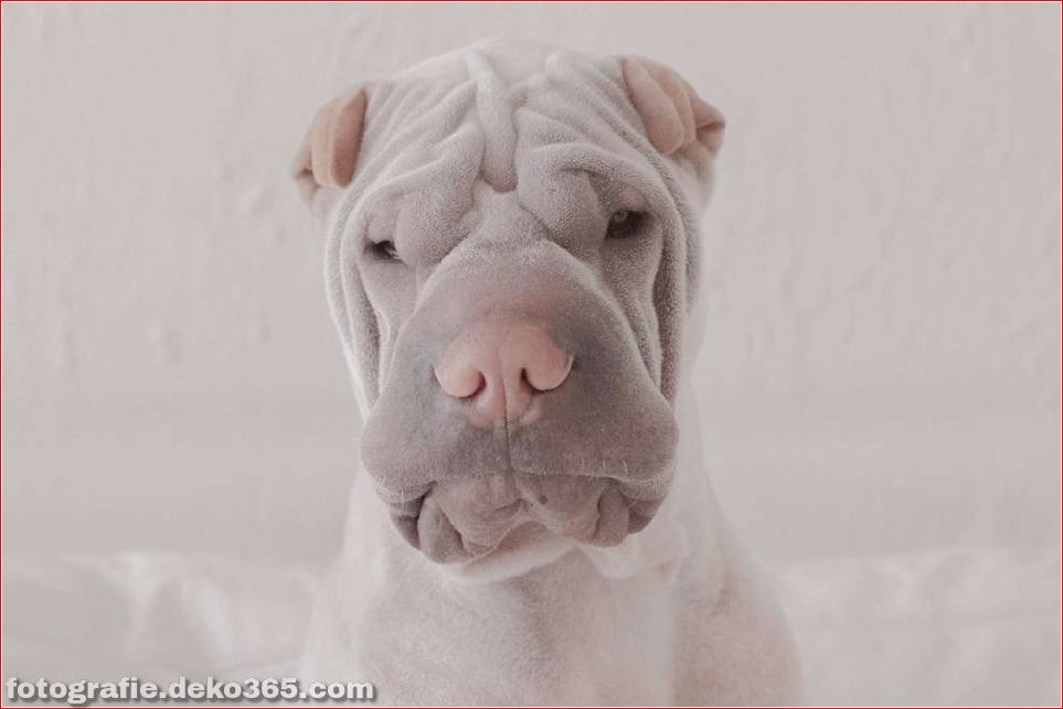 Paddington, der Shar Pei-Hund ist so liebenswert, dass er Schaden anrichtet (12)