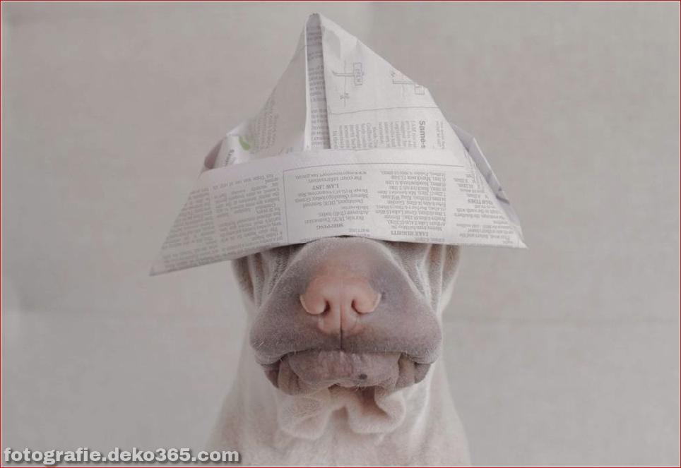 Paddington, der Shar Pei-Hund ist so liebenswert, dass er Schaden anrichtet (13)
