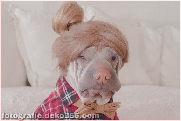Paddington-The-Cute-Shar-Pei-Who-Lieben-Dressing-up-18