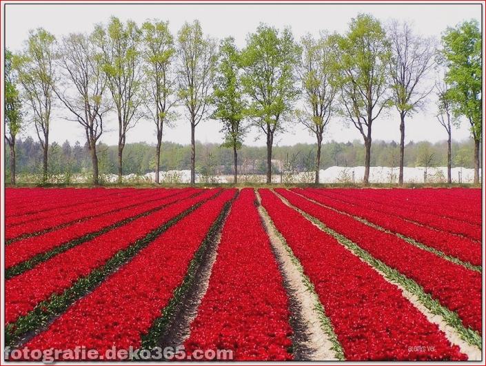 Weltgrößter Blumengarten - Niederlande (19)
