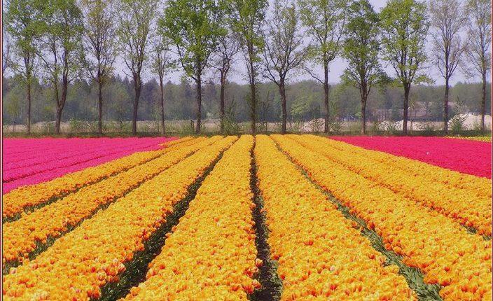 Schöner niederländischer Blumengarten_5c904f395111c.jpg