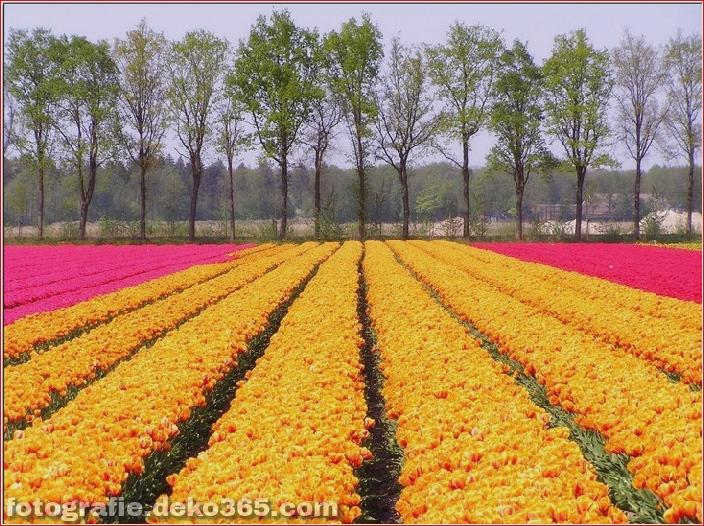 Weltgrößter Blumengarten - Niederlande (20)