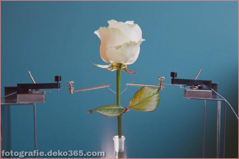 Die erste elektronische Cyborg-Rose der Welt (3)