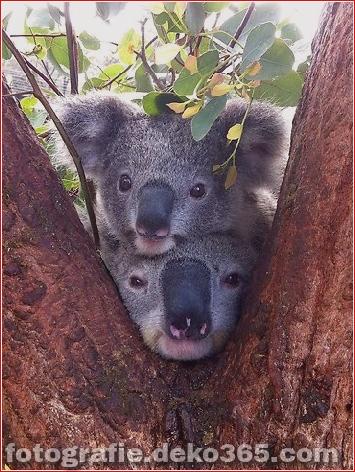 Netter Alarm! Koalas im Taronga Zoo in Sydney gefangengenommen
