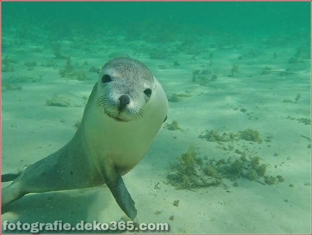 Schwimmen mit den Seelöwenwelpen in Baird Bay