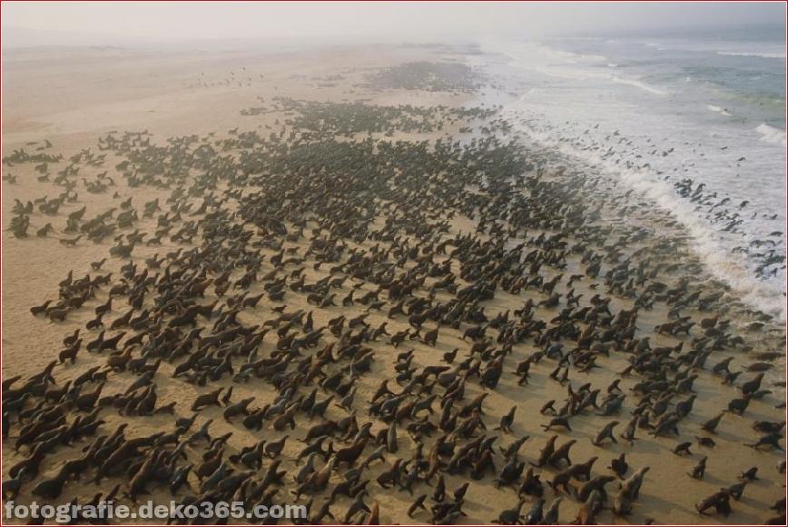 Robbenjagd in Namibia